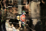 Portrait of a Male Wood Duck, Aix Sponsa, and its Reflection in Water Photographic Print by Robbie George