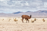 A Lone Llama Stands in a Desert Near the Salar De Uyuni Photographic Print by Alex Saberi