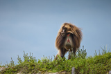 A Male Gelada Baboon, Theropithecus Gelada, on the Guassa Plateau of Ethiopia Photographic Print by Robin Moore
