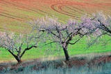 Almond Trees in Bloom Photographic Print by Kike Calvo