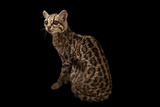 A Federally Endangered Margay, Leopardus Wiedii, at the Cincinnati Zoo Photographic Print by Joel Sartore