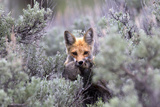 A Red Fox, Vulpes Vulpes, Stands Amidst Shrubs after Catching a Rodent Photographic Print by Robbie George