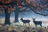 Red Deer Stags in a Forest with Colorful Fall Foliage Fotografisk tryk af Alex Saberi