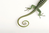 The Tail End of a Resinger's Monitor, Varanus Rosenbergi, at the Fort Worth Zoo Photographic Print by Joel Sartore