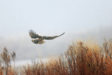 A Northern Harrier, Circus Cyaneus, Flying over a Field Photographic Print by Robbie George