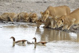 Vumbi Lionesses and Cubs Drink from a Waterhole Photographic Print by Michael Nichols