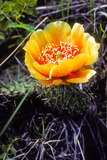 The Flower of a Prickly Pear Cactus Photographic Print by Tom Murphy