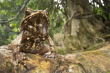 A Palawan Horned Frog, Megophrys Ligayae, an Endangered Frog from the Philippines Photographic Print by Robin Moore