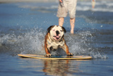 An English Bulldog Shows Off its Skills on a Skimboard Photographic Print by Robbie George
