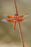 An Orange Dragonfly on an Orange Reed Photographic Print by Tom Murphy