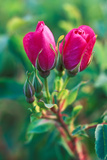 Wild Red Roses Photographic Print by Tom Murphy