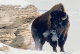 A Bison Bull Soaks Up the Winter Sun Close to the Sunny South Side of the Soda Butte Cone Reprodukcja zdjęcia autor Tom Murphy