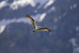 An Osprey, Pandion Haliaetus, Soaring Above Trout Lake in Yellowstone National Park Photographic Print by Robbie George