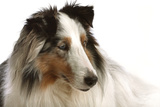 Close Up Portrait of a Pet Shetland Sheepdog Photographic Print by Vickie Lewis