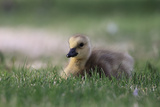 Portrait of a Canada Goose Gosling, Branta Canadensis, Resting in the Grass Photographic Print by Robbie George