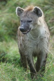 Close Up Portrait of a Spotted Hyena, Crocuta Crocuta, Snarling Photographic Print by Bob Smith