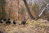 A Wild Turkey, Meleagris Gallopavo, and His Harem of Hens Foraging on a Wooded Game Trail Photographic Print by Michael Forsberg