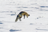 A Red Fox Pounces onto Mice or Voles Hidden under the Snow Photographic Print by Tom Murphy
