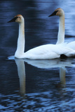 Two Trumpeter Swans, Cygnus Buccinator, Swimming in Icy Waters Photographic Print by Robbie George