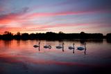 Mute Swans, Cygnus Olor, Swim on Pen Ponds at Sunset in Richmond Park Fotografisk tryk af Alex Saberi