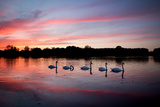 Mute Swans, Cygnus Olor, Swim on Pen Ponds at Sunset in Richmond Park Photographic Print by Alex Saberi