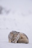 A Coyote, Canis Latrans, Sleeping in Snow Photographic Print by Tom Murphy