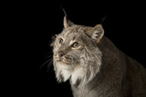 A Canada Lynx, Lynx Canadensis, at the Cincinnati Zoo Photographic Print by Joel Sartore
