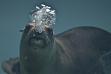A California Sealion, Zalophus Californianus, Blows Bubbles as it Swims in an Aquarium Tank Photographic Print by Kike Calvo