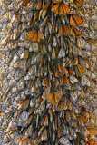 Monarch Butterflies Tightly Clustered on an Oyamel Fir Tree in the Forests of Michoacan, Mexico Photographic Print by Medford Taylor