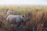 Greater One-Horned Rhinoceroses, Rhinoceros Unicornis, in Tall Grasses in the Fog Photographic Print by Roy Toft