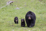 A Black Bear Sow, Ursus Americanus, and Her Cubs Walking in a Grassy Meadow Photographic Print by Robbie George