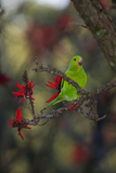 A Plain Parakeet, Brotogeris Tirica, Resting in a Coral Tree Photographic Print by Alex Saberi