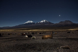 Venus Glows in the Night Sky as Llamas Settle Down to Sleep Photographic Print by Alex Saberi