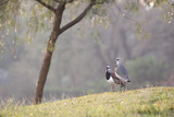 Southern Lapwing, Vanellus Chilensis, Standing by a Tree in Ibirapuera Park Photographic Print by Alex Saberi