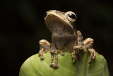 A Common Treefrog, Polypedates Leucomystax, on a Banana Leaf on Palawan, the Philippines Fotografisk tryk af Robin Moore