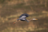 Portrait of a Great Blue Heron, Ardea Herodias, in Flight Photographic Print by Robbie George