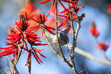 A Sayaca Tanager, Thraupis Sayaca, Feeds in a Coral Tree in Ibirapuera Park Photographic Print by Alex Saberi