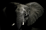 An Alert African Elephant with its Ears Spread Fotografisk tryk af Jason Edwards