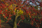 A Tree in Autumn Loaded with Bright Red Berries Photographic Print by Diane Cook Len Jenshel