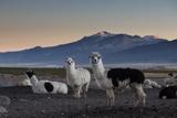 Llama Gathering in the Sajama National Park Photographic Print by Alex Saberi