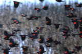 A Flock of Red-Winged Blackbirds, Agelaius Phoeniceus, in Flight over a Snowy Field Photographic Print by Robbie George