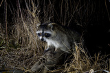 Night Time Portrait of a Raccoon, Procyon Lotor, with Eye Shine Photographic Print by Michael Forsberg