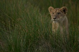An Alert Lion Cub in the Plains of the Serengeti Photographic Print by Michael Nichols