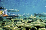 Cutthroat Trout Face Upstream Congregating in Shallow Pools in Streams During Spawning Season Photographic PrintTom Murphy