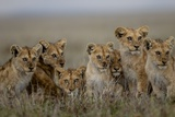 Lion Cubs Watch their Mothers as They Stalk Wildebeests Photographic Print by Michael Nichols
