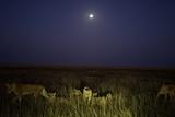 The Vumbi Lion Pride at Dawn Photographic Print by Michael Nichols