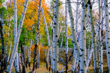 Aspen Trees in the Fall Photographic Print by Tom Murphy