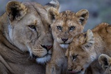 A Remote Car Captures Lion Cubs from the Vumbi Pride with a Lioness Photographic Print by Michael Nichols