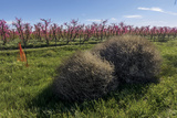 In California's Central Valley Tumbleweeds are Ready to Roll into an Irrigated Orchard Photographic Print by Diane Cook Len Jenshel