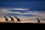 A Small Herd of Giraffe on the Serengeti Plains Photographic Print by Michael Nichols